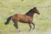 Bay half Andalusian half Percheron gelding running in Castle Rock, CO