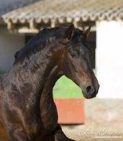 Bay Andalusian stallion running in Osuna, Spain