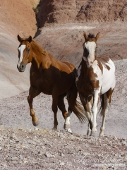 Flitner Ranch, Shell, WY - paint horse and sorrel quarter horse trot together