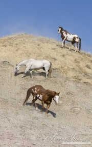 Flitner Ranch, Shell, WY - two paints and grey Quarter horse stand on hill