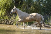 Flitner Ranch, Shell, WY - palomino Quarter horse trots through stream
