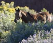 Buckskin Quarter Horse mare, San Cristobal Ranch, NM