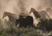 Quarter Horse mares and foals run in dust, San Cristobal Ranch, NM