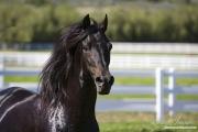 Black Paso Fino Stallion, Ojai, CA