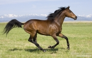 purebred bay Thoroughbred gelding running in Longmont, CO