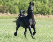 Black Friesian gelding trotting in Longmont, CO