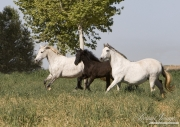 Ejicia, Spain, purebred Andalusians, mares and foal run