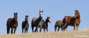 Flitner Ranch, Shell, WY - Quarter horse mares and foals stand