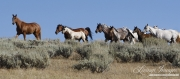 Flitner Ranch, Shell, WY - Quarter horse mares and foals walk