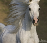 Ojai, CA, purebred horse, grey Arabian stallion runs