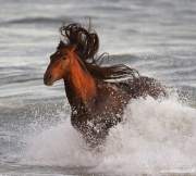Ojai, California, Andalusian stallion, ocean