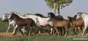 Ejicia, Spain, purebred Andalusians, mares and foals walk