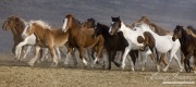 Sombrero Ranch, Craig, CO, large group of horses trots