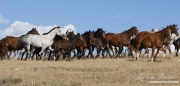 Flitner Ranch, Shell, WY - Quarter horse mares and foals trot