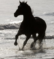 Summerland Beach, Ojai, CA, horse, Azteca stallion, Andalusian and Quarter Horse cross, trorts in ocean as a silhouette