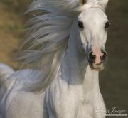Ojai, CA, purebred horse, grey Arabian stallion runs