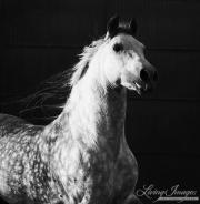 Purebred Andalusian in Osuna, Spain, grey stallion runs