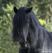 Black Peruvian Paso Stallion, Sante Fe, NM