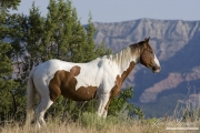 wild horses, mustangs in Little Bookcliffs, Colorado - pinto stallion
