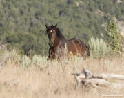 wild horses, mustangs in Little Bookcliffs, Colorado - bay stallion