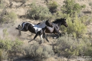 wild horses, mustangs in Little Bookcliffs, Colorado - pinto colt and black mare run