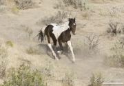wild horses, mustangs in Little Bookcliffs, Colorado - pinto colt runs
