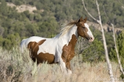 wild horses, mustangs in Little Bookcliffs, Colorado - pinto bachelor stallion