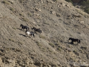 wild horses, mustangs in Little Bookcliffs, Colorado - three black mares, pinto stallion  run up steep rocky hillside