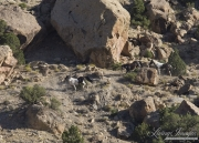 wild horses, mustangs in Little Bookcliffs, Colorado - black mare, pinto stallion and pinto colt run over rocks