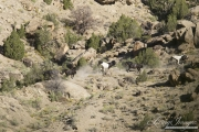 wild horses, mustangs in Little Bookcliffs, Colorado - three black mares, pinto stallion and pinto colt run over rocks