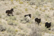 wild horses, mustangs in Little Bookcliffs, Colorado - three black mares and pinto stallion run