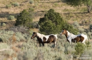 wild horses, mustangs in Little Bookcliffs, Colorado - two pinto mares look
