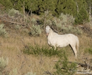 wild horses, mustangs in Little Bookcliffs, Colorado - cremello mare looks