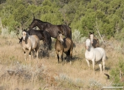 wild horses, mustangs in Little Bookcliffs, Colorado - mares in band grazing and looking