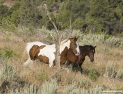 wild horses, mustangs in Little Bookcliffs, Colorado - bay stallion and pinto stallion