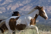 wild horses, mustangs in Little Bookcliffs, Colorado - pinto stallion persued by bay stallion