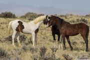 A wild horse in the McCullough Peaks Herd Area