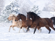 Norwegian fjord young stallion, paint gelding and bay Thoroughbred gelding run tiogether in snow in Berthoud, CO