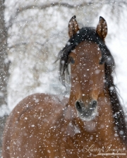Bay Andalusian stallion in snow in Longmont, CO
