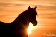 wild horse, mustang in McCullough Peaks, WY - pinto mare at sunrise