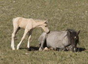 Pryor Mountains, Montana, wild horses, palomino colt nuzzling sleeping mare
