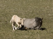 Pryor Mountains, Montana, wild horses, palomino colt lying down next to mare