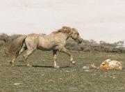 Pryor Mountains, Montana, wild horses, palomino stallion runs against snow backdrop