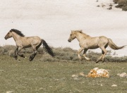 Pryor Mountains, Montana, wild horses, palomino stallion chases bachelor stallion