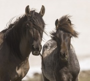Pryor Mountains, Montana, wild horses, grulla mare and filly