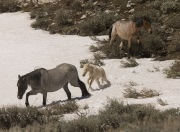 Pryor Mountains, Montana, wild horses, mare and foal trudge through snow