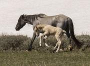 Pryor Mountains, Montana, wild horses, palomino colt leaps next to grulla mare