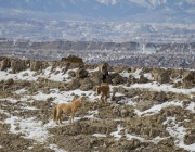 wild horses, mustangs, in winter in Pryor Mountains, MT - red palomino named Cloud, with two bachelors - grulla and sorrel