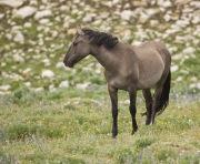 Pryor Mountains, Montana, wild horses, grulla mare looks