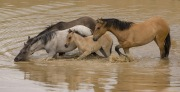 Pryor Mountains, Montana, wild horses, band in the water